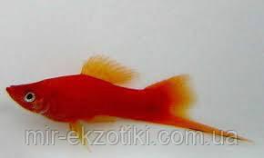 Меченосец красный 3-4см
