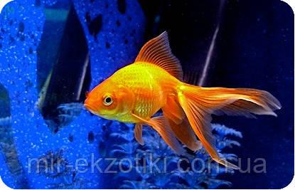 Золотая рыбка 3-4см