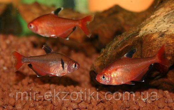Минор (Hephessobrycon minor)