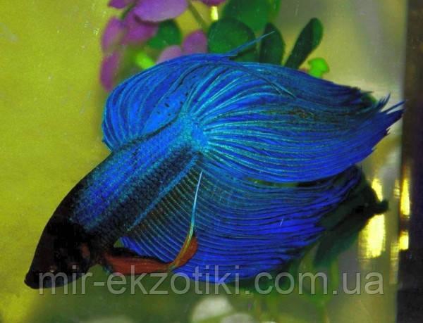 ПЕТУШОК вуалевый синий