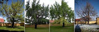 Гинкго Билоба — «динозаврово дерево»