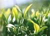 Бодрящее чудо — зеленый чай