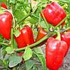 Семена перца Богатырь 30 сем. Элитный ряд