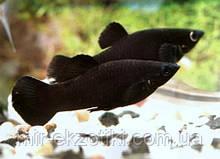 Моллинезия чёрная 2,5-3см