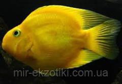 Желтый попугай 7-8см