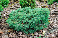 Ель колючая Соня Р9 ( Picea pungens Sonia )