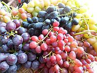 Саженцы  столового  винограда  оптом, фото 1