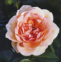 Саженцы вьющейся розы СКУЛГЕЛ