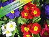 Примулы, Садовый Центр, оптом, Киев, Белая Церковь, 8 Марта, цветы