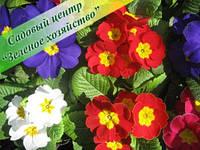 Примулы, Садовый Центр, оптом, Киев, Белая Церковь, 8 Марта, цветы, фото 1