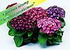 Цинерария, цветы, саженцы, питомник, подарок, к 8 Марта, Киев, Украина