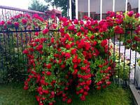 Саженцы вьющейся розы САНСЕТ