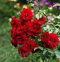 Саженцы розы патио ЛИЛИ МАРЛЕН
