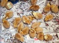 Фокси Чик мясо-яичная порода, фото 1