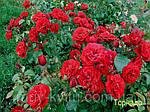 Саженцы розы парковой ТОРНАДО