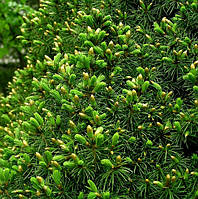 Ель канадская Цукерхут Р9 ( Picea glauca Zuckerhut )