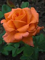 Саженцы розы парковой ВЕСТЕРЛЕНД