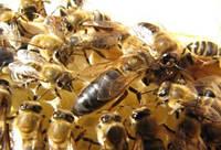 Пчеломатка.«Карпатка» тип «Говерла». Отправка с Мукачево Новой Почтой