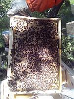 Пчелопакеты Бакфаст