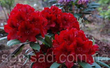 "Рододендрон "" Владислав Ягелло "" ( саженцы 2 года ЗКС ) Rhododendron Wladyslaw Jagiello, фото 2"