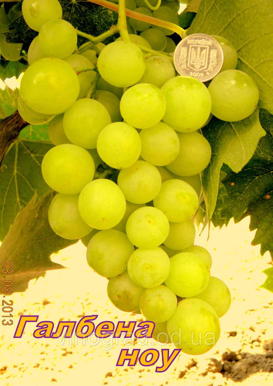 Саджанці винограду раннього терміну дозрівання сорти Галбена Ноу