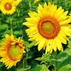Семена Подсолнечника DOW SEEDS ІЛОНА КЛ (ILONA CL)