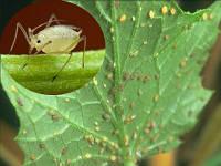 Биоинсектициды (вредители)