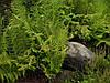 Папоротник Кочедыжник женский (саженцы)