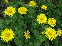Дороникум (ромашка жёлтая) (саженцы), фото 1