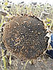 Семена подсолнечника ЗАГРАВА, А-Е,100-108 дней,. Оригинатор: ВНИС, Урожай 2016 г. Экстра