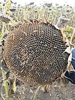 Семена подсолнечника АТИЛЛА, высокоурожайный, устойчив к заразихе A - F, 95-100 дней., ВНИС. Стандарт
