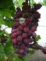 Саженцы винограда Малиновый супер (корнесобственные)
