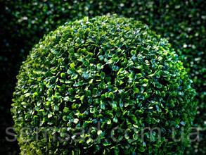 Самшит вічнозелений ( саджанці 2 роки р9), фото 2
