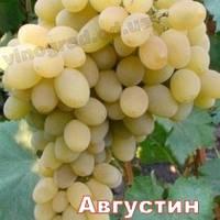 Саженцы винограда средне-раннего срока созревания Августин