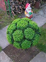 Самшит вечнозеленый ( саженцы 2х летние)