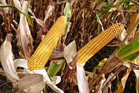 Агростарт семена кукурузы MAЇSADOUR Мас 36.A (Mas 36.A) Украина