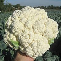 Цветная капуста Миньйон F1 семена среднего устойчивого гибрида для свежего рынка, летнего и осеннего оборота