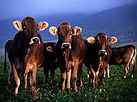 Купить заменители цельного молока для телят, Junior, Швейцария