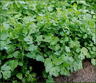 Кориандр салатный Карибе семена позднего сорта кинзы устойчивой к стрелкованию
