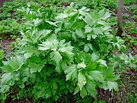 Любисток лечебный семена многолетнего травянистого растения для лекарственных целей