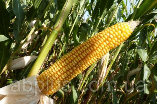 Семена кукурузы Mas 44.А