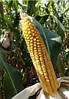 Семена кукурузы MAЇSADOUR Мас 47.П (Mas 47.P) Украина