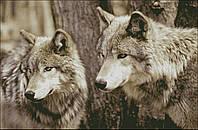 """Набор для вышивания """"Волки"""" с нитками ДМС"""
