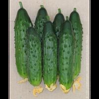 Кумир F1 семена огурца партенокарп (Элитный ряд) 10 шт.