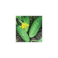 Родничок F1 насіння огірка бджолозапильного (Елітний ряд)