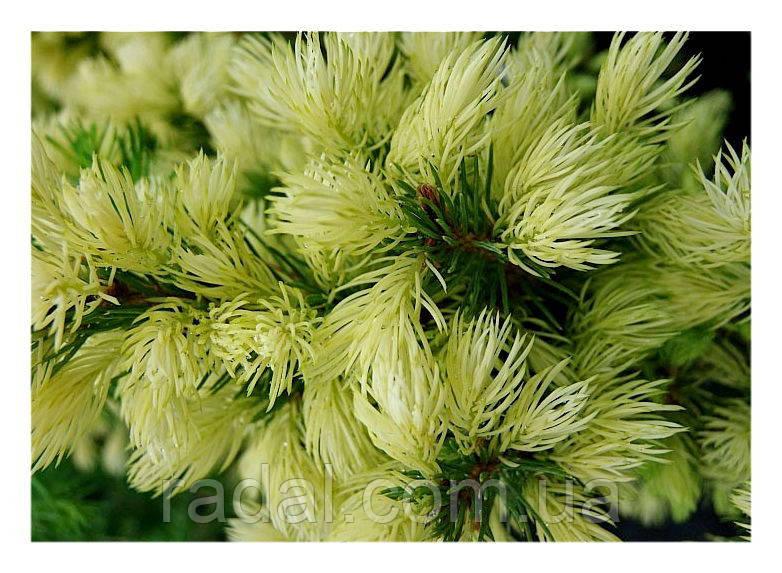 Ель канадская  Дейзи УайтР9 ( Picea glauca Daisy's White )