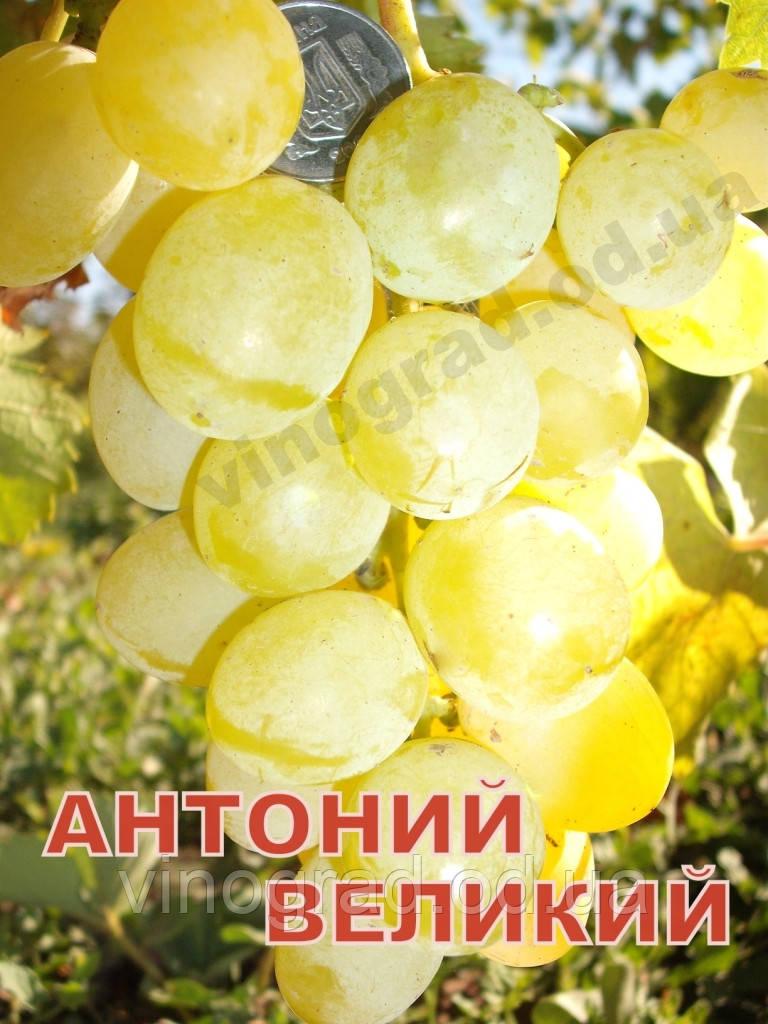 Саженцы винограда среднего срока созревания сорта Антоний Великий