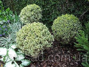 Самшит вечнозеленый Variegata Elegantissima ( саженцы р9), фото 2