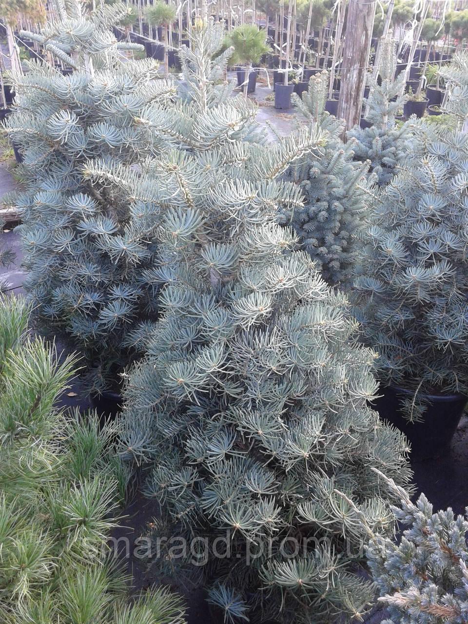 пихта одноцветная Abies Concolor Compacta высота 70 90см горшок