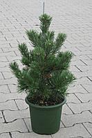 Сосна горная - Pinus mugo Gnom (высота 40-60см, горшок 15л)